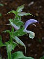 Salvia sclarea 002.JPG