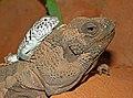 Sauromalus hispidus - Crotaphytus collaris.jpg