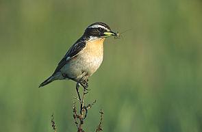 Braunkehlchen (Saxicola rubetra) Männchen