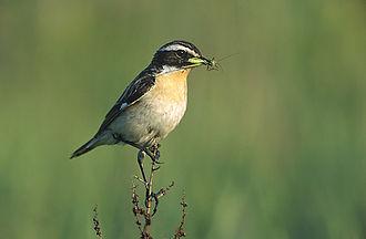 Chat (bird) - Whinchat (Saxicola rubetra)