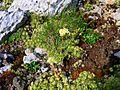 Saxifraga paniculata PID1399-1.jpg
