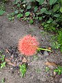 Scadoxus multiflorus-Blood Lily, Football Lily, Powderpuff Lily 2.jpg