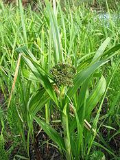 Лісовий комиш scirpus sylvaticus ленінград