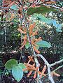 Scleropyrum pentandrum or Scleropyrum wallichianum 05.JPG