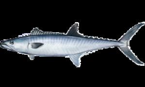 King mackerel - Image: Scomberomorus cavalla