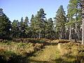 Scots pine in Upper Tomvaich Woods - geograph.org.uk - 1009205.jpg