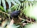 Scytalopus parvirostris - Trilling Tapaculo.jpg