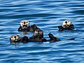 Sea Otters (19631888633).jpg
