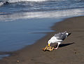Seagull consuming crab.jpg