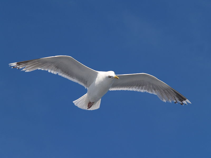 File:Seagull flying (5).jpg