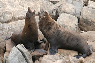 Arctocephalus forsteri - Image: Seal 0906