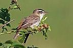 Sedge warbler (Acrocephalus schoenobaenus) 2.jpg