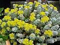 Sedum spathulifolium 'Cappe blanco' 5.JPG