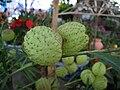 Seedpod of Gomphocarpus Physocarpus..jpg