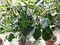 Semele androgyna var. gayae - Copenhagen Botanical Garden - DSC08020.JPG