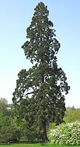 Sequoiadendron giganteum 02 by Line1.jpg
