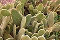 Ses Salines - Botanicactus - Opuntia microdasys 03 ies.jpg
