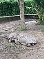 Seven Coloured Earths, tortoise, Chamarel, March 2020 (8).jpg