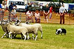 Sheep Dog Display (2620998373).jpg