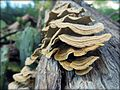 Shelf fungus 1.jpg