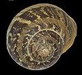 Shells-IZE-006-Black (Garden Snail).jpg