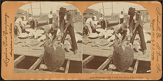 Turtling (hunting) - Image: Shipping green turtle, Key West, Fla, from Robert N. Dennis collection of stereoscopic views 4
