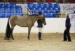 Horse showmanship - A show hunter is shown with a braided mane and tail