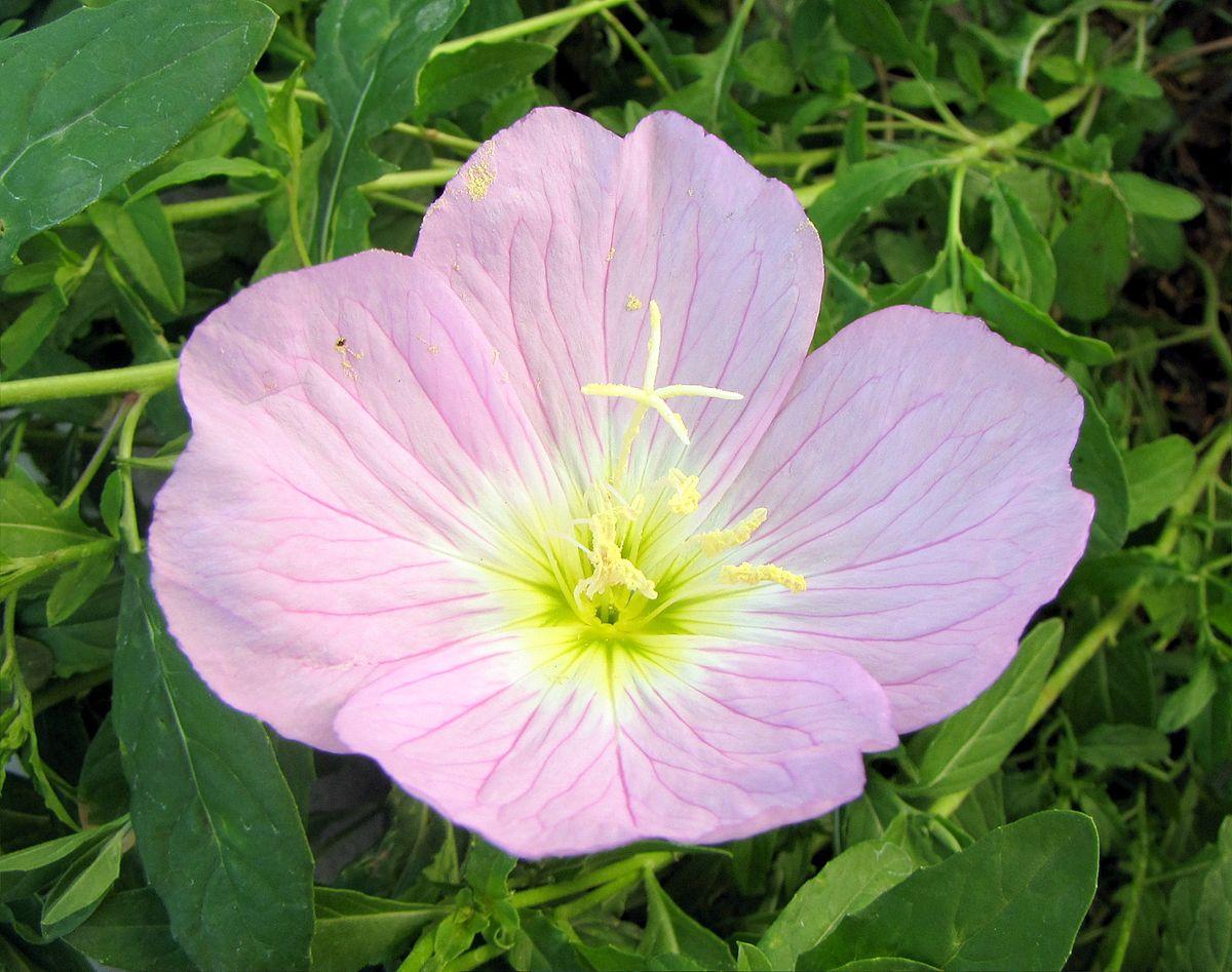 Oenothera Speciosa Wikipedia