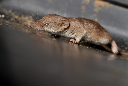 Shrew (Crocidura sp) 01.jpg