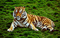Siberian Tiger at Colchester Zoo, UK. (5755163592).jpg