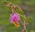 Sickle Bush (Dichrostachys cinerea) in Hyderabad, AP W IMG 7210.jpg