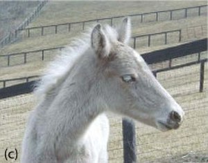 Silver dapple gene - Silver dapple foal exhibiting typical wheat-colored coat and pale eyelashes