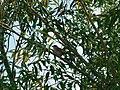 Siva grmuša (Sylvia borin); Garden Warbler.jpg
