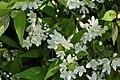 Slender Deutzia Deutzia gracilis 'Nikko' Flowers.jpg