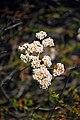 Small white flowers (2666334803).jpg