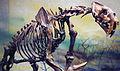 Smilodon californicus saber-toothed tiger (La Brea Asphalt, Upper Pleistocene; Rancho La Brea tar pits, Los Angeles, southern California, USA) 3 (15256586380).jpg