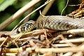 Snake - RSPB Fowlmere (27840675302).jpg