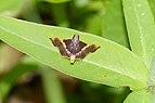 Snout moth (Endotricha sp ) 8590.jpg