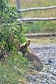 Snowshoe Hare (Lepus americanus) - Gooseberry Cove Provincial Park, Newfoundland 2019-08-10.jpg