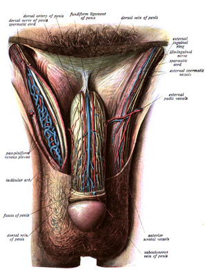 Male reproductive system - Image showing innervation and blood-supply of the human external male genitalia.