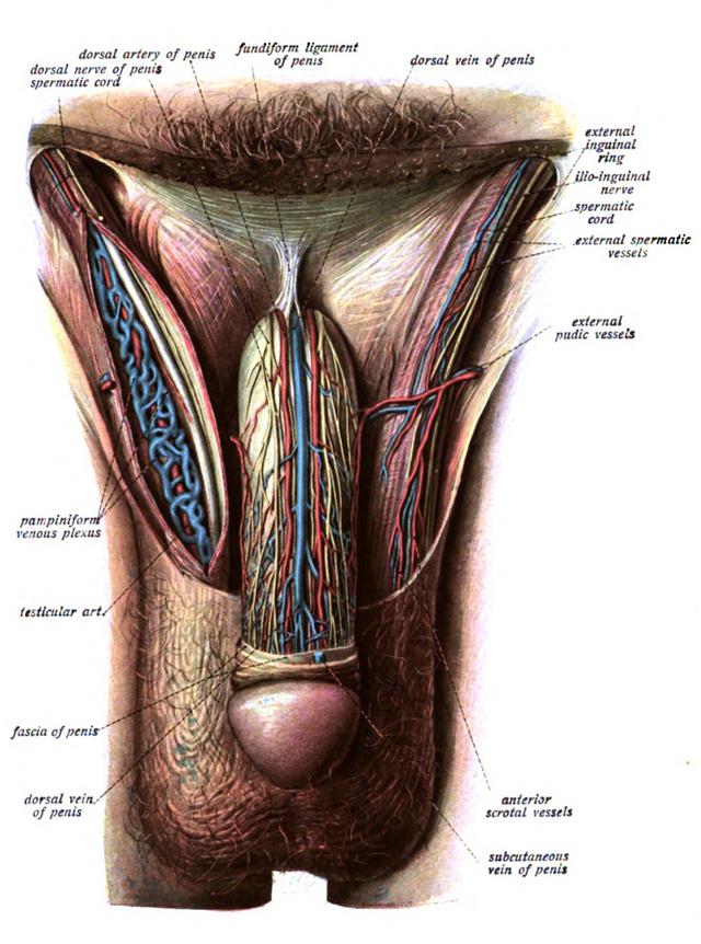 Fundiform ligament - Wikiwand