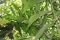 Socratea exorrhiza 17zz.jpg