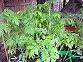 Solanales - Solanum lycopersicum - 5.jpg