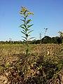 Solidago gigantea (subsp. serotina) sl3.jpg