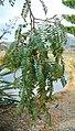 Sophora-tetraptera-foliage2.jpg
