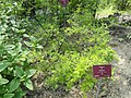 Sophora toromiro - Val Rahmeh - DSC04347.JPG
