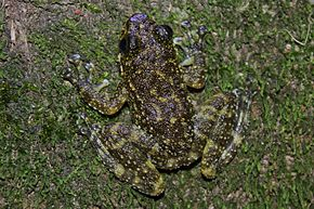 Description de l'image South China Cascade Frog (Amolops ricketti) 華南湍蛙.jpg.