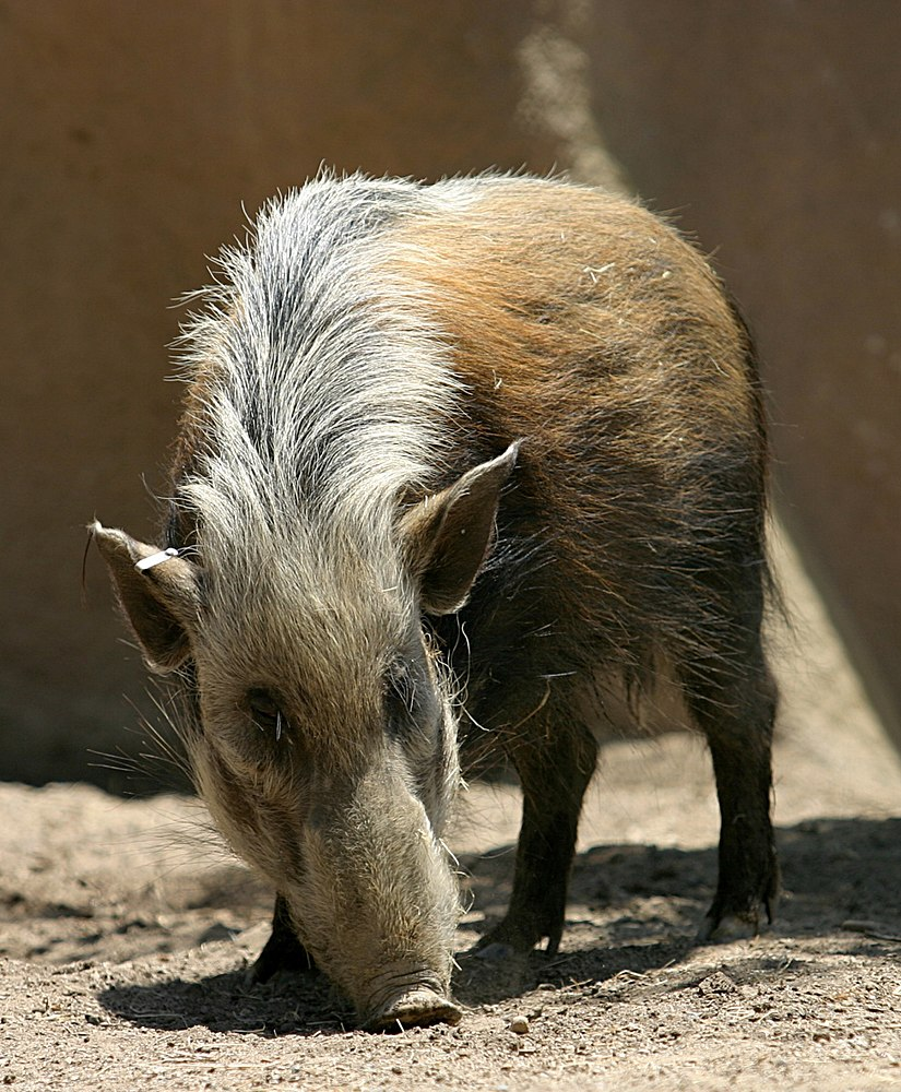 The average litter size of a Bushpig is 2