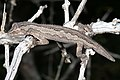 Southern Spiny-tailed Gecko (Strophurus intermedius) (9390989108).jpg