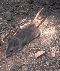 Southern grasshopper mouse.jpg